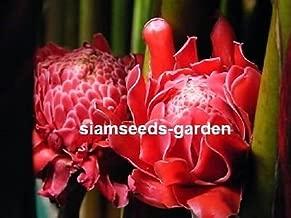 1 Plants Bulbs TORCH GINGER RED ETLINGERA ELATOR + FREE PHYTO Flower Fresh & Viable From Garden