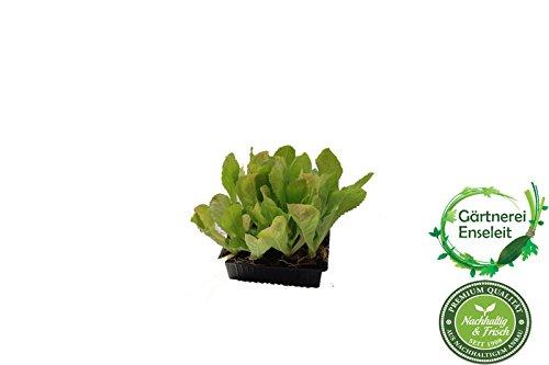 Endiviensalat im 10 er Set, Cichorium endivia var. crispum, Marktfrisch