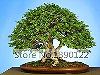 PlenTree Hoo Products - 20/Bag Korean Hornbeam Tree Seeds Mini Bonsai Seeds for Home Garden Very Beautiful Sprout 95% Hot Sale!