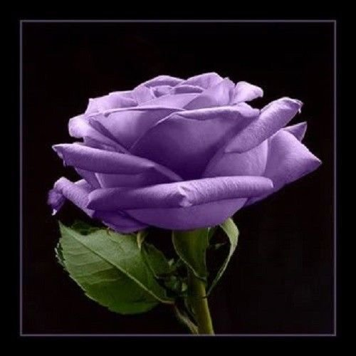 5 Purple Rose Rosa Bush Shrub Perennial Flower Seeds