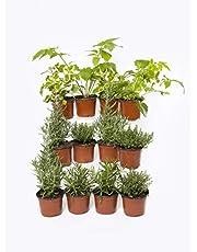 Plantas Naturales y Aromáticas - Pack 12 Plantas de Temporada Variadas 10,5 cm ø- VIPARGARDEN 1