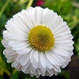 ZHOUBA - Semillas de margarita para jardín, 50 semillas de margarita blanca, fácil cultivo, flores ornamentales para jardín, hogar, patio, Semillas de margarita