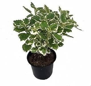 Variegated Swedish Ivy Plant Plectranthus -3.5