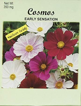 Set of San Diego Mall 100 Cosmos Early New Free Shipping Sensation Packets Seed Seeds in Flower