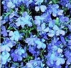 Lobelia - Riviera Sky Blue - 1000 Seeds