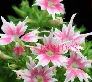 Jour Lumière - Graines de tournesol, paquet d'origine graines de fleurs-20 particules