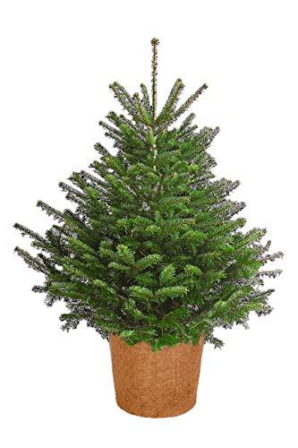 Dehner Nordmann-Tanne, im Topf gewachsen, duftend, ca. 100-125 cm, 7.5 l Topf, Weihnachtsbaum
