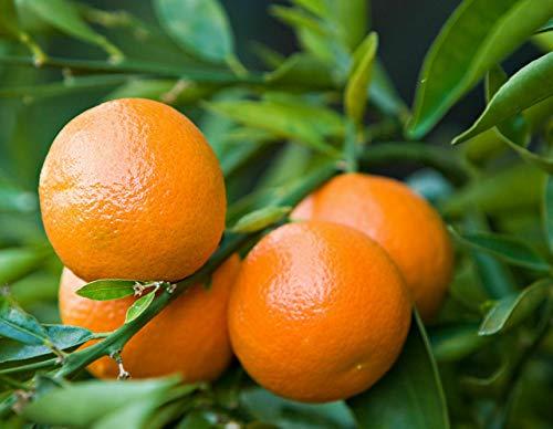 Mandarino clementino'Citrus x clementina' pianta in vaso agrumi di Sicilia