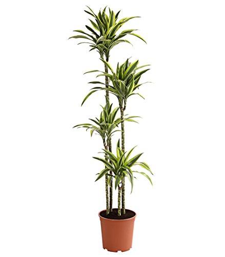Dehner Drachenbaum Lemon Lime, viertriebig, ca. 170-180 cm, Ø Topf 27 cm, Zimmerpflanze