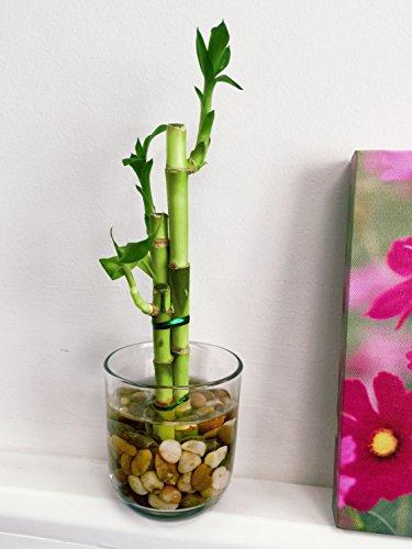Easy Plants Planta de bambú de la suerte en jarrón redondo de cristal con guijarros – Bonsái de interior para Feng Shui