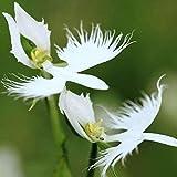Voipe Jardin - Japonais Radiata Graines De Graines D'aigrette Sur Orchidées Rares Espèces D'orchidées Rares Au Monde Blanc Baison Fleurs Orchidée Jardin