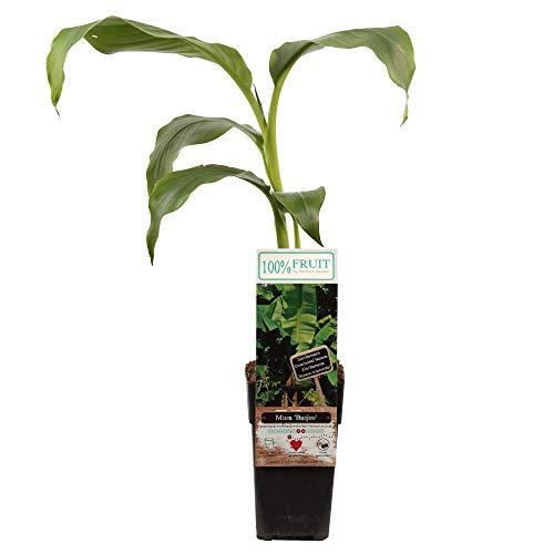 Musa basjoo | Banane Musa Basjoo | Bananenpflanze Banane | Banane Winterhart | Höhe 40-75 cm | Topf-Ø 15 cm