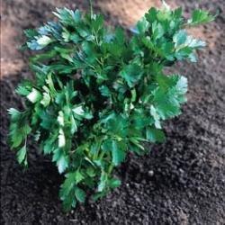Suffolk herbes g?n?rations Lot???Italian Persil???Petroselinum Crispum Blanc