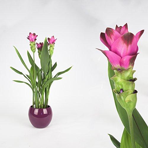 Curcuma 55cm/-, siamesische Tulpe, Topfgröße 13-14cm