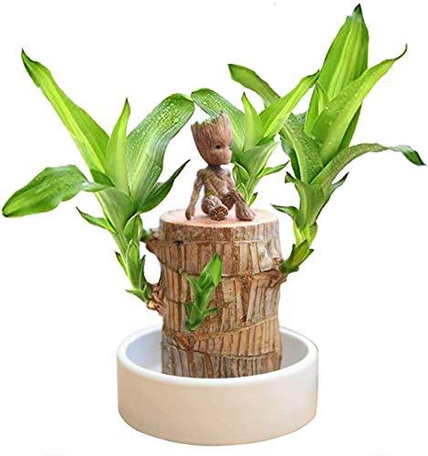 FLAIGO Desktop Ornaments Mini Brasilianische Holz Topfpflanzen Saubere Luft Glück Holz Pflanztopf Hydrokultur Pflanzen Hydrokultur Baumstumpf Pflanzen 5cm im Durchmesser Brasilianisches Holz + Groot