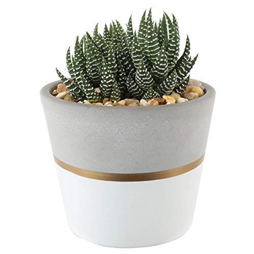 Costa Farms Succulents Fully Rooted Live Indoor Plant, 4-Inch Haworthia, in...