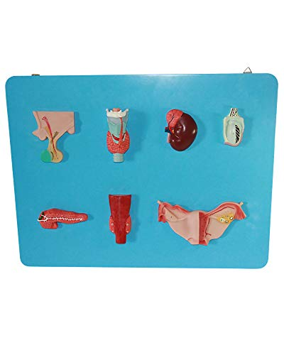 LLC PVC Human Endocrine System Model Anatomical Pituitary Pineal Gland Thyroid Parathyroid Gland And Adrenal Gland Medical Teaching Model