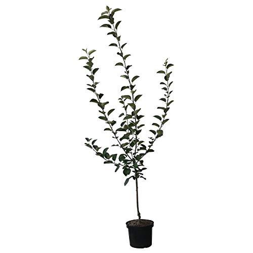 Müllers Grüner Garten Shop Apfelbaum Rubinette® Geschmackssieger! Herbstapfel Buschbaum ca. 150-170 cm 10 L Topf Unterlage M7
