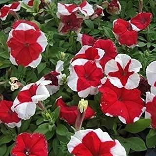 ANVIN Germinación de Las Semillas: 40 Semillas Las Semillas de la Petunia Flor Rojos Hulahoop (Petunia × hybrida)