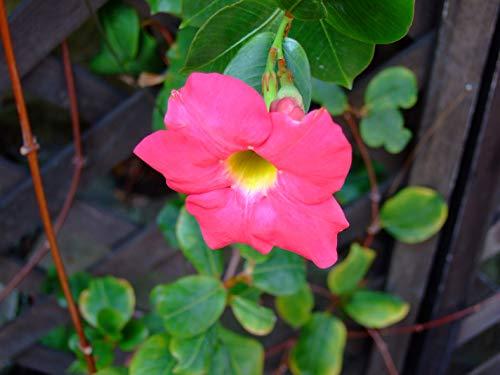 50 PC / bolso raras semillas dipladenia sanderi trepadora perenne Mandevilla Sanderi flor ornamental exterior Bonsai Garden Planta 9