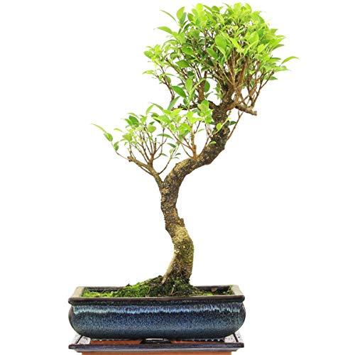 Ficus, Bonsaï, 12 ans, 53cm