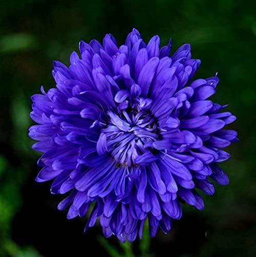 100 pezzi semi di crisantemo fiore blu viola unico bellissimi fiori di erbe facili da piantare...