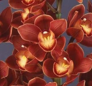 Orchid Insanity – Cymbidium Koushu Mae – Blooms red Maroon Flowers, exceptionally Easy to Grow, Vigorous and Hardy. Compact Grower, Small Footprint. (NOT in Bloom When Shipped)