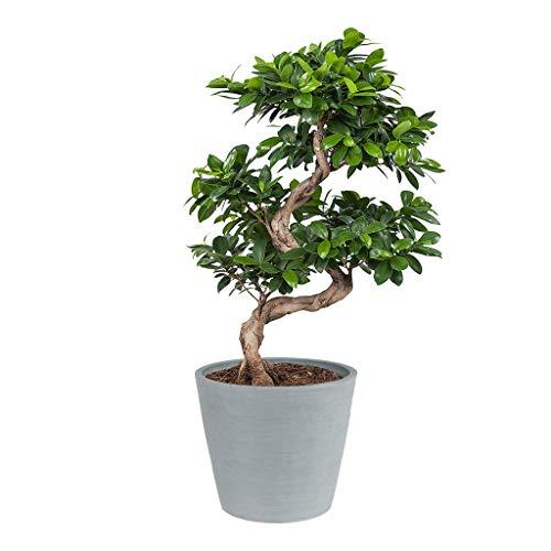 Ficus Ginseng Bonsai | Avec Cache pot ECOPOT Blanc| Plantes vertes | Plante interieur | Hauteur 70 cm | Pot 27 cm | Cadeau Japon