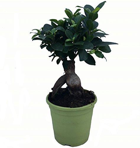Bonsái Ficus Microcarpa - Maceta 13cm. - Altura aprox. 30cm. - Planta viva - (Envíos sólo a Península)