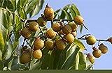 Potseed Samen Keimung: 25 Samen Sapindus mukorossi, Waschnuss, Waschnuss, Seifenbaum, Seife Berry,...