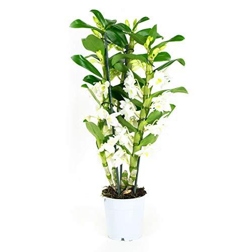 Orchidee von Botanicly – Bambus Orchidee – Höhe: 50 cm, 3 Triebe, weiße Blüten – Dendrobium Nobile Apollon