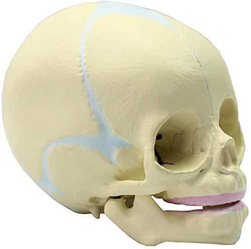 DIELUNY Skull Anatomical Model Lifesize Human Fetus, 30 Weeks Pregnant Fetal Head Children, Educational Material