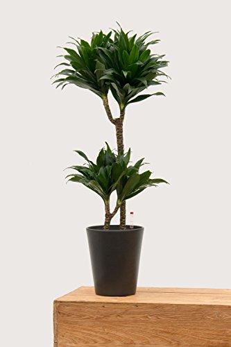 Evrgreen Drachenbaum J. Craig Compacta 80 cm inkl. Topf in anthrazit große robuste Zimmerpflanze in Hydrokultur wenig Licht Dracaena deremensis 1 Pflanze
