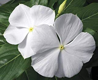 Vinca Seeds 25 Seeds Vinca Cora White Annual Seeds