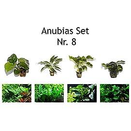 Tropica Anubias Set mit 4 Anubias Topf Pflanzen Aquariumpflanzenset Nr.8 Wasserpflanzen Aquarium Aquariumpflanzen