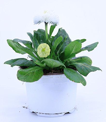 Bellis Perennis weiss, Bellis Pflanze Gänseblümchen aus eigener Gärtnerei !