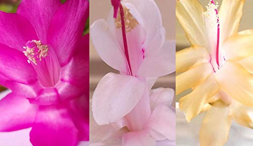 3 Cuttings (unrooted) from Pink, Cream, Yellow Christmas Cactus Thanksgiving Cactus Plants, One Each