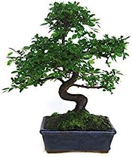 Bonsái Zelkova parvifolia 8 años OLMO CHINO