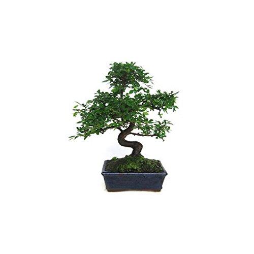 Zelkova parvifolia 8 años OLMO CHINO