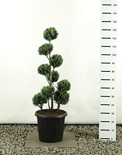Formschnitt Formgehölz Bonsai PonPon - Chamaecyparis Lawsoniana White Spot Multibol - Gesamthöhe 100-125 cm - Topf 18 Liter