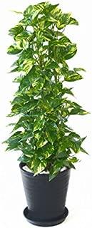 【セラアート鉢】選べる観葉植物 8号鉢 (ポトス タワー仕立て, ブラック)
