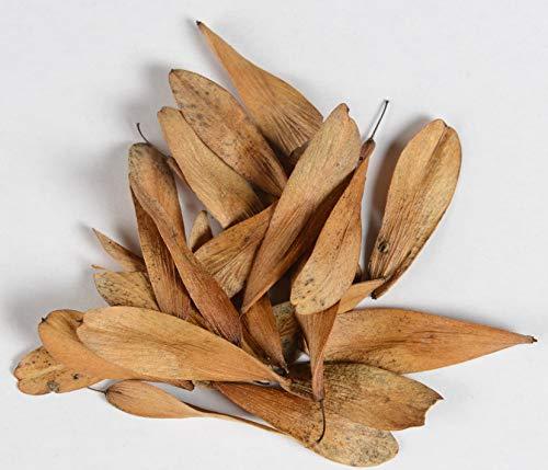 Esche Fraxinus excelsior 50 Samen