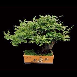 graines 50 PCS intérieur aseptiques vert de plantes, petite maison de bonsaï pour regarder les feuilles vert graines d'arbres de pin