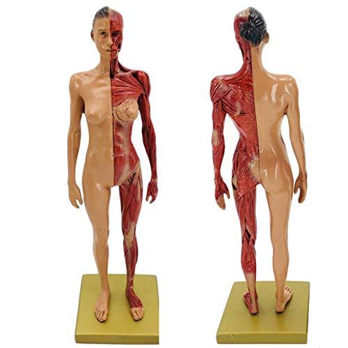 FXQ Weibliche & männliche Anatomie-Figur - Kunstharz-Kunst-Schaufensterpuppen-Malerei-Skulptur - 30 cm (11,8 Zoll) Körpermodell für die muskuloskelettale Anatomie - für den Unterricht in der Schule,A