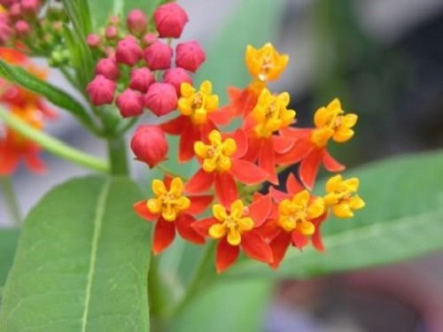 100 SUNSET / BLOOD FLOWER Scarlet Milkweed - Asclepias Curassavica Seeds *Comb S/H by Seedville