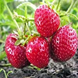 10 Honeoye Strawberry Fruit Plants - Incredibly Sweet Berry! - (Pack of 10 Bare