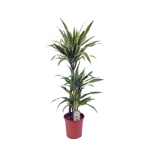 Dracaena Lemon Lime - 3 troncos - Altura total aprox. 1m. - Planta viva - (envíos sólo a península)