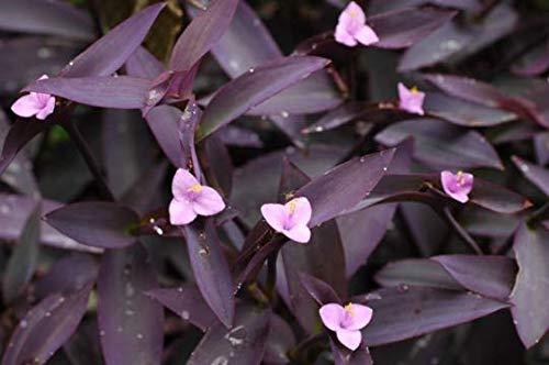 Purple Queen ~ Heart Wandering Jew ~ Tradescantia Pallida ~ Setcreasea Purpurea Fresh Cuttings