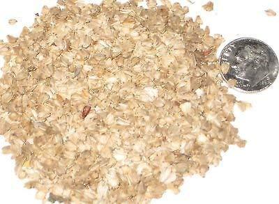 Paquete de semillas japonesa Aliso, Alnus japonica Semillas ideal para árboles Bonsai...