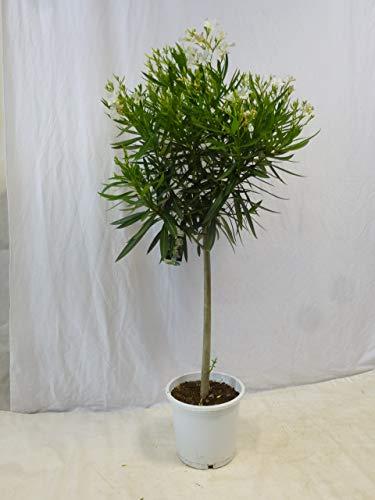 [Palmenlager] - Oleander 150 cm -Hochstamm - WEIß - Nerium oleander - mediterrane Pflanze (Weiß)